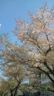 桜ははらり……