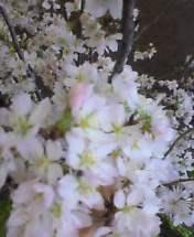 東京の桜便り